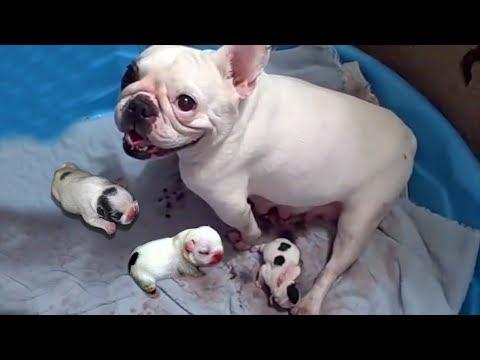 68  French Bulldog Giving BirthaProud Moma French Bulldog Giving Birth To Many Cute Puppies