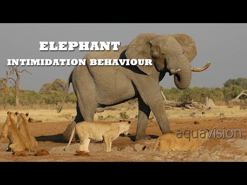 African Elephant intimidation behaviour | Animals Gone Wild