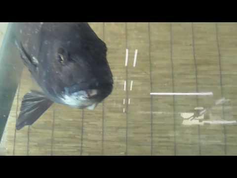 活けマイワシを好んで捕食するフィッシュ・イーターのチヌ(クロダイ) 海水魚飼育映像 和歌山釣太郎