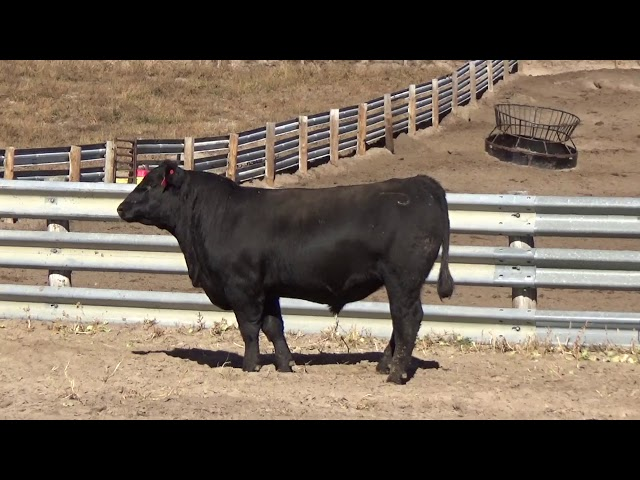Connealy Angus Lot 47