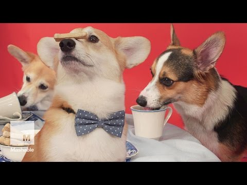 A Regal Corgi Tea Party