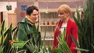 Jak zadbać o rośliny doniczkowe w zimę, krotony, fiołki afrykańskie - Ogród Bez Tajemnic