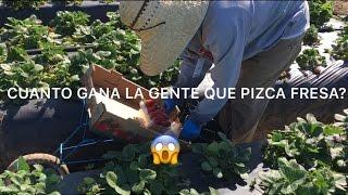 Cuanto gana la gente que pizca fresa? (Pizca de fresa en oxnard CA.)