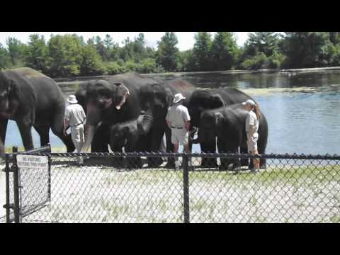 African elephants leave the swimming pond - African Lion Safari