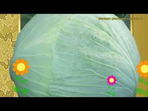 Капуста белокочанная Леннокс f1. Краткий обзор, описание характеристик, где купить семена Lennoks f1 | белокочанная | описание | леннокс | краткий | капуста | обзор | lennoks | f1