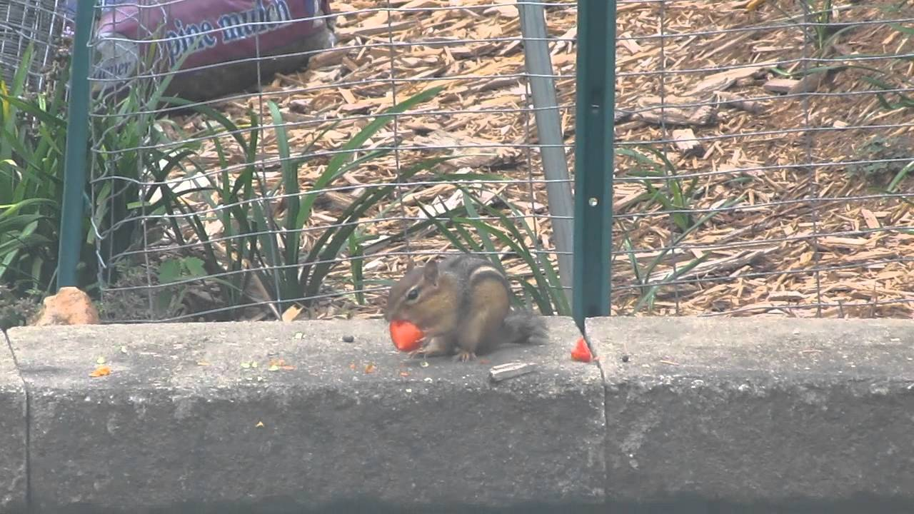 Chipmunk eating tomato just outside vegetable garden YouTube