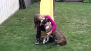 Cute Cali - Bull Terrier / Australian Shepherd  Mix Super Sweet And Handsome Brindle Coat Needs Home