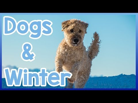 Dog & Winter! How to Take Care of Your Dog Properly During Winter!