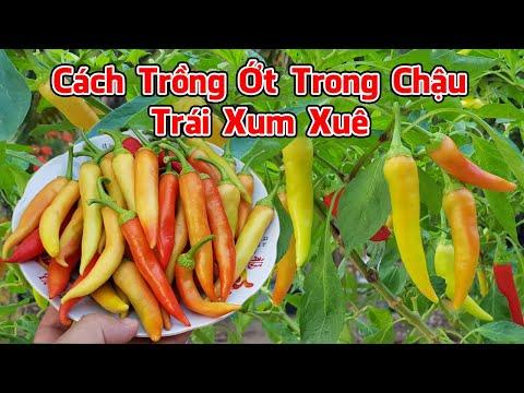 Cách trồng ớt trong chậu có trái xum xuê