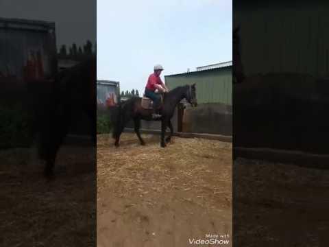hunter cross country show jumping machine