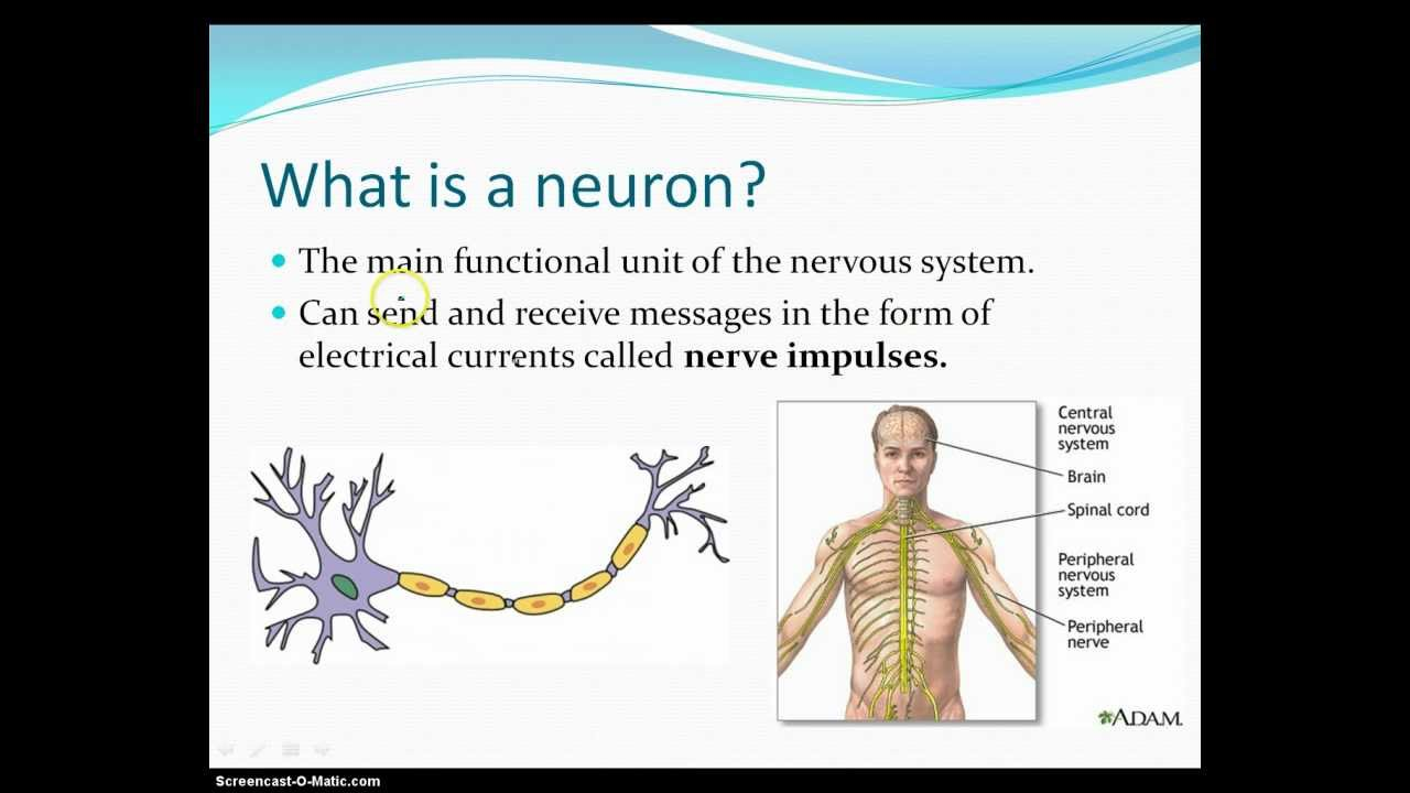 What is a Neuron  YouTube
