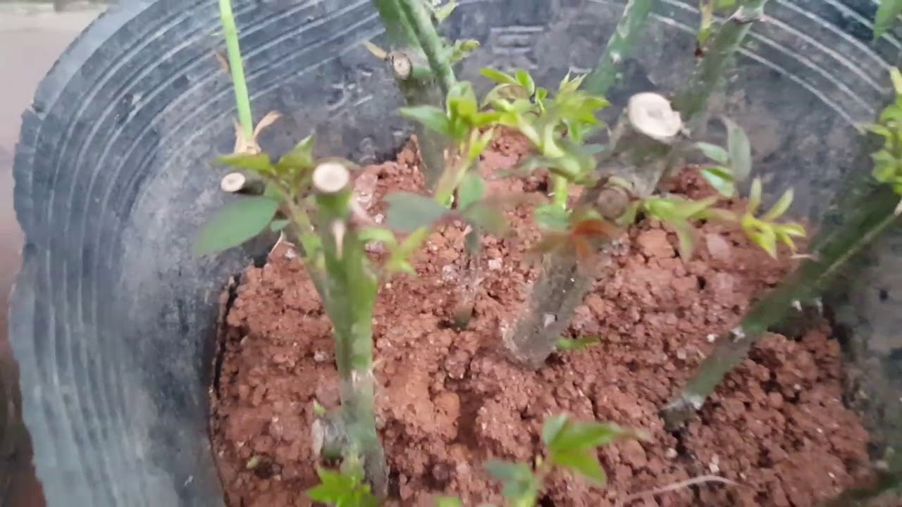 Bí quyết giâm cành hoa hồng dễ dang (How to Grow Roses from Cuttings Easy)