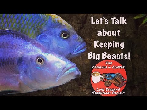 Keeping HUGE Fish & Your Questions Answered! It's The Cichlids & Coffee Live Stream!