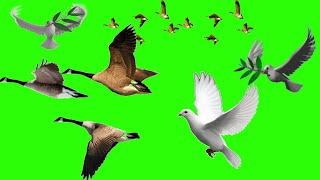 Birds flying green screen video ll birds flying chroma key ll my edit support ll pigeon green screen