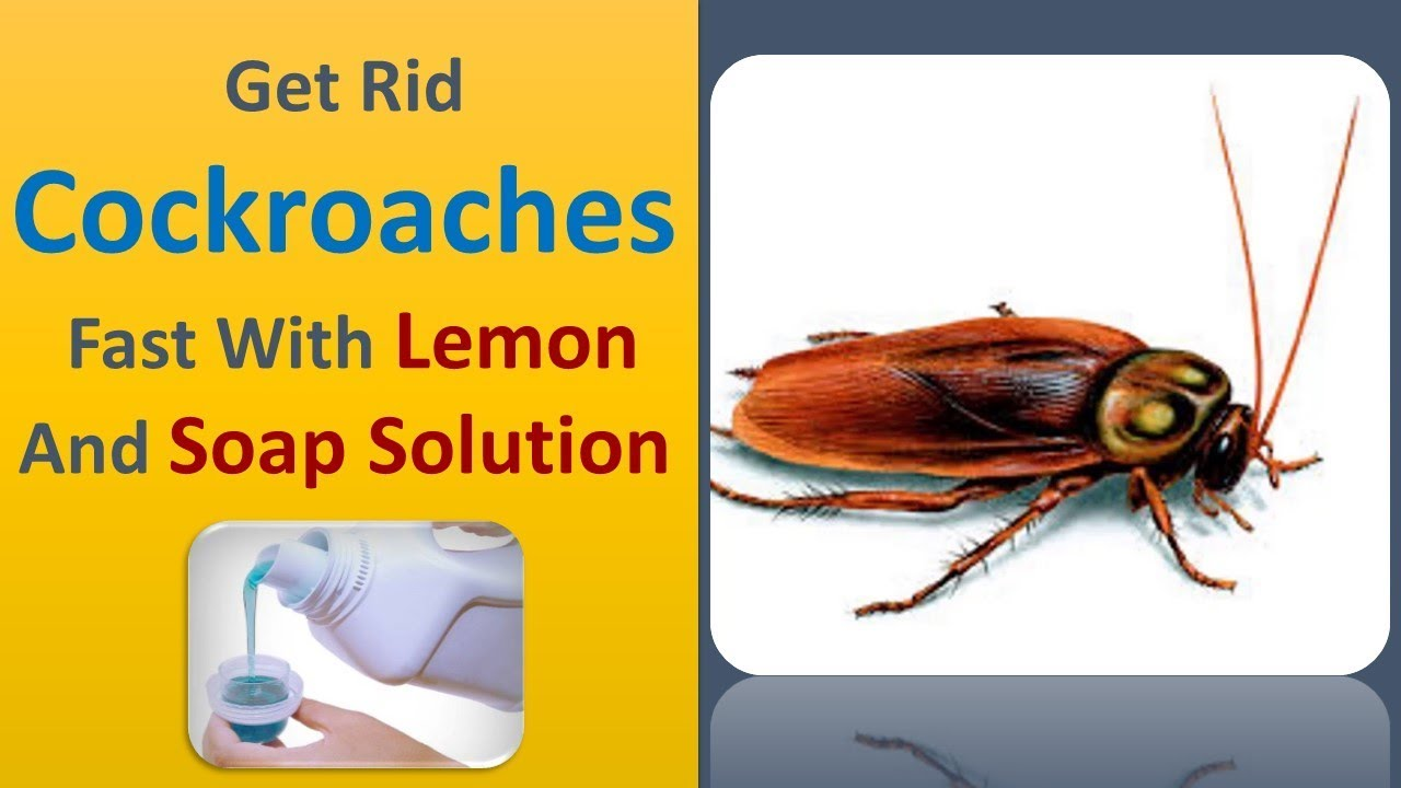 Get Rid Cockroaches Fast With Lemon And Soap Solution YouTube - How to get rid of cockroaches in kitchen cabinets