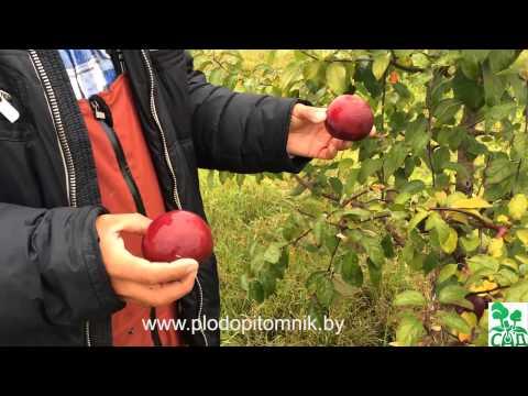 Яблоня сорт Память Коваленко