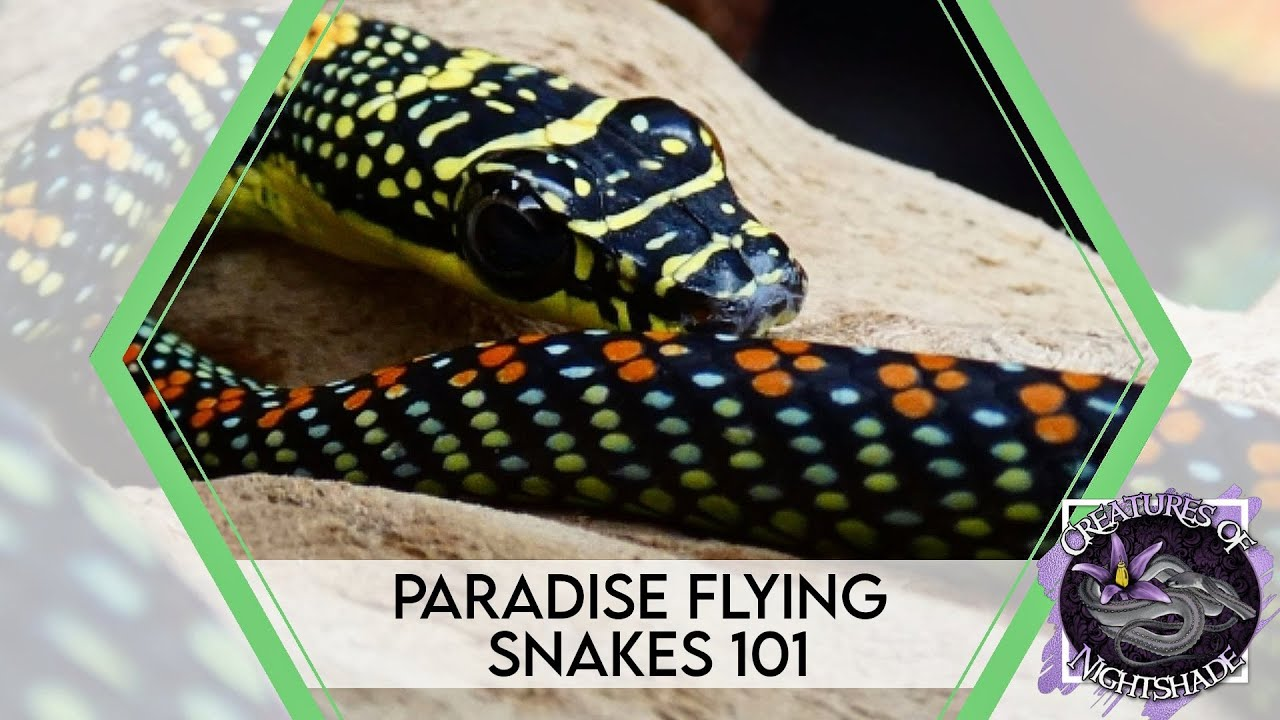 Paradise Flying Snakes 101 | Care Guide | Creatures of Nightshade
