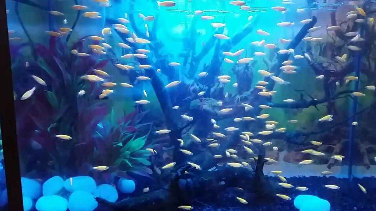 Zebra fish tank youtube for Fish tank youtube