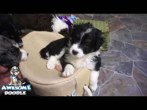 AnnaClaire's AussieDoodle Puppies at 6 weeks old