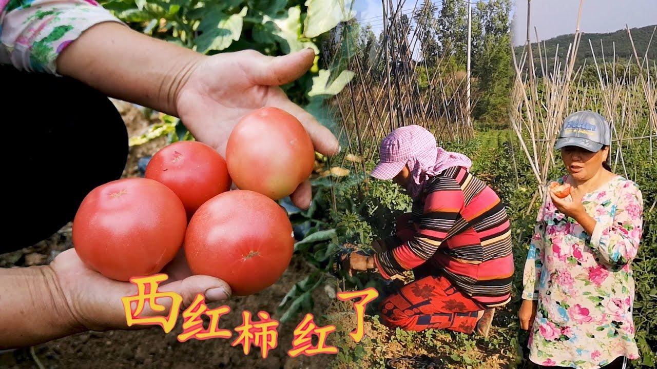 【胖嫂show】胖嫂侍弄菜,像照顾孩子一样细心,今天发现西红柿红了,口感怎么样?