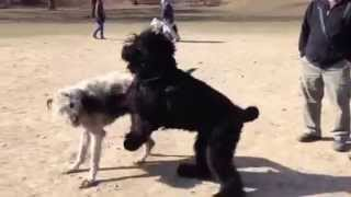 Black Russian Terrier Koba And Willow The Irish Wolfhound