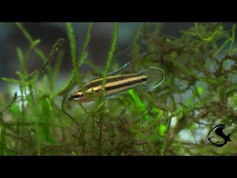 Licorice Gourami - Parosphromenus Sp