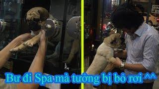 Chó Pug Bư sáng đi spa tưởng bị chủ bán khóc mếu máo =))Tối đón về mừng quắn đuôi 😂 Pugk vlog