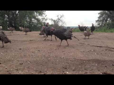 Staten Island turkeys trot around South Beach Psychiatric Center