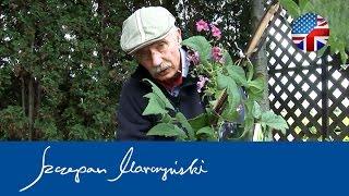 Clematis Planting