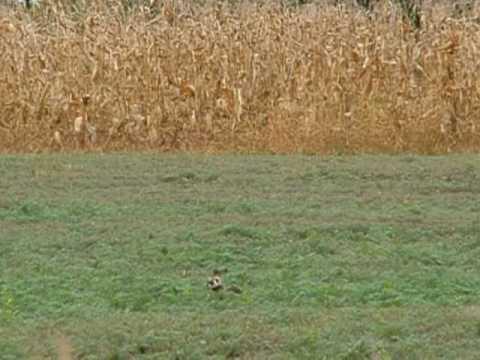Mezei görény vadászat közben (Steppe polecat, Mustela eversmanni during hunting)