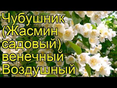 Чубушник венечный Воздушный Десант. Краткий обзор philadelphus coronarius Vozdushnyi Desant