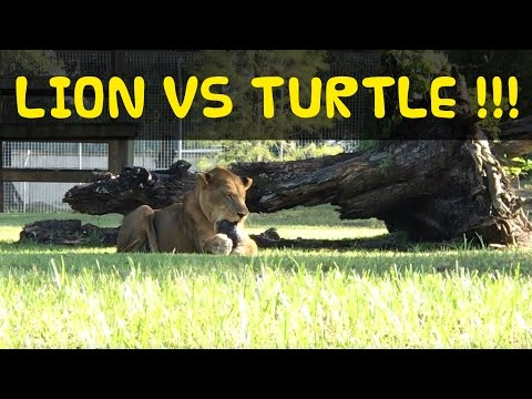 Lion VS Turtle at Big Cat Rescue