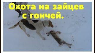 Охота на зайцев с Русской пегой гончей 2016