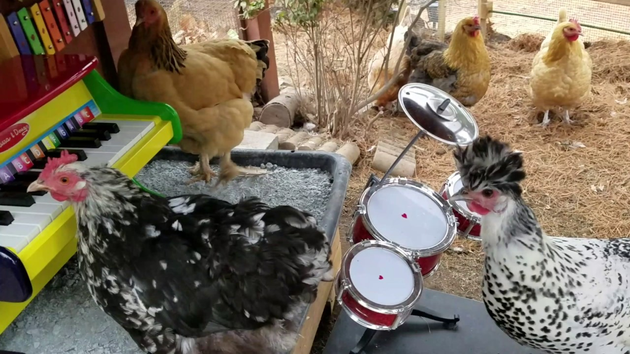 chickens form backyard band youtube