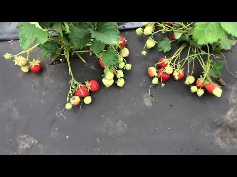 Полка- сорт садовой земляники ( клубники) проверенный годами.