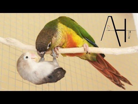 Agapornis y pyrrhura papilleros jugando   Voladera
