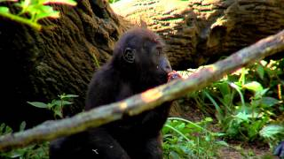 1st Birthday Party for Baby Gorilla Mondika - Cincinnati Zoo thumbnail