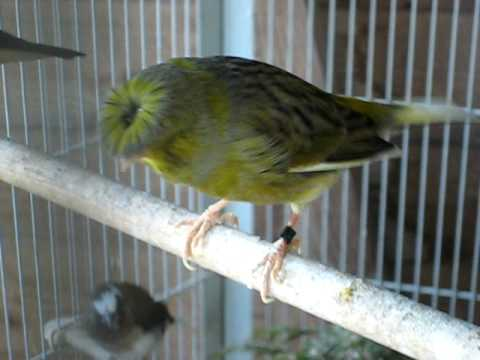 Canary Sing-Song!