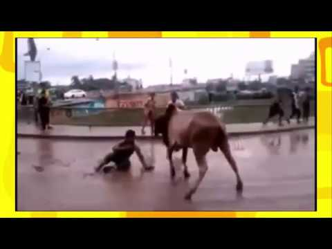 Indian Funny Video With Indian Cow 2017