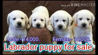 Labrador puppy for sale in delhi. contact 8447232664.
