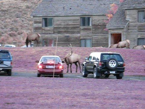 Yellowstone elk # 6 - October 2008