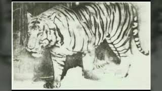 Extinct species of tigers... Gone forever...