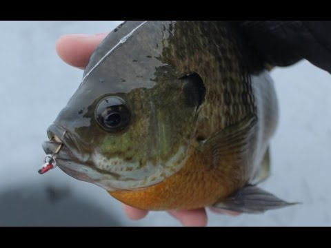 First Ice Fishing GIANT Bluegill