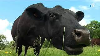 Les élevages insolites en Limousin : la vache Angus