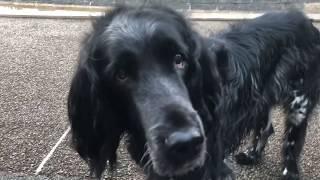 今朝は大型犬、ラージミュンスターレンダーのボン爺ちゃんと寒い中、朝...