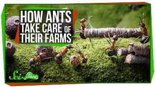 How Ants Take Care Of Their Farms