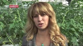 Topraksız 25 günde domates yetiştirme