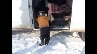 толстая собака пытается залезть в машину