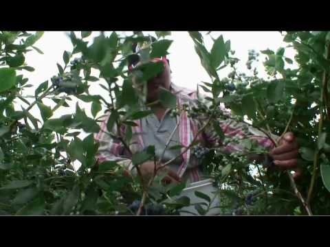 Farmers harvest blueberries in New Jersey Pineland...