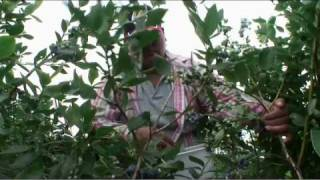 Farmers harvest blueberries in New Jersey Pinelands, birthplace of the cultivated highbush blueberry